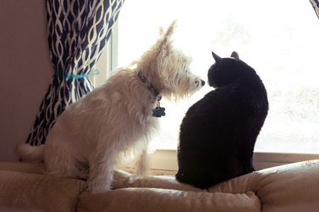 West highland terrier and a black cat sitting on a window