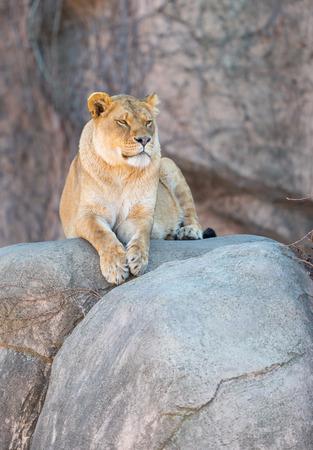 Beautiful adult lioness on a big rock Standard-Bild