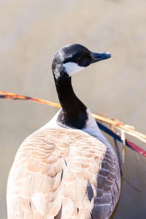 Large beautiful goose swimming in a lake