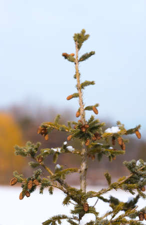 Beautiful fir cones on a pine tree branch 写真素材