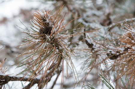 Fir cones under a heavy snow in winter