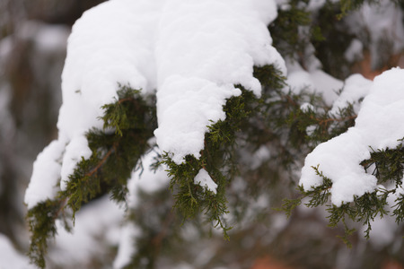 Green pine tree under a heavy snow