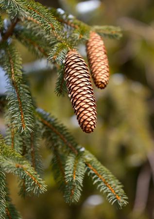 Beautiful fir cones on a pine tree branch Banco de Imagens