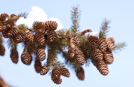 Beautiful fir cones on a pine tree branch Stock fotó