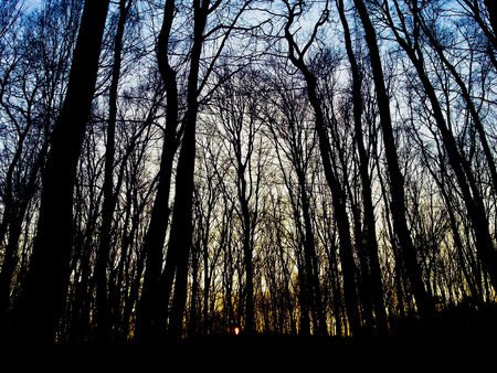 Trees in a forest during evening