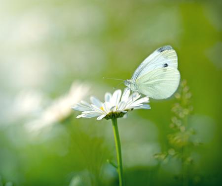 Бабочка на цветке ромашки