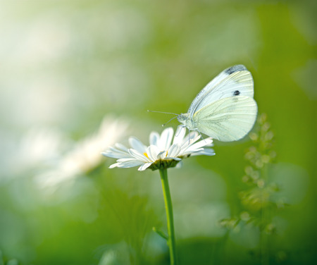 Butterfly on százszorszép
