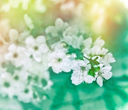 soft   focus: Soft focus on cherry flowers - blooming Stock Photo