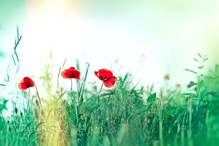 Red poppy flowers in grass photo