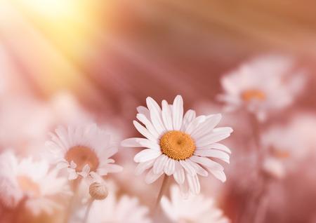 soft   focus: Soft focus on daisy flower lit by sunbeams (sun rays)