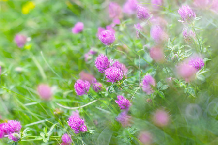 Red clover in meadow photo