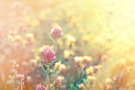 Red clover illuminated by the rays of the setting sun photo