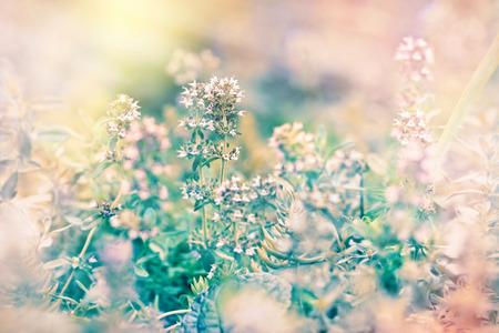 tomillo: Plantas medicinales - tomillo silvestre Foto de archivo