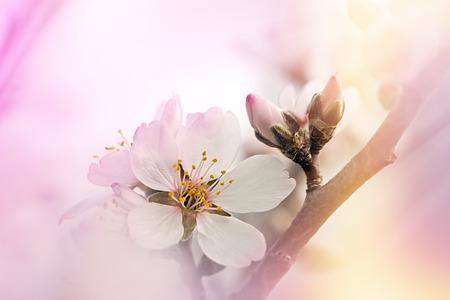 soft   focus: Budding and flowering fruit tree - soft focus Stock Photo