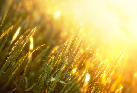 Sunset in field of wheat photo