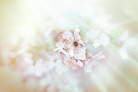 soft   focus: Soft focus on beautiful blossoming - blooming