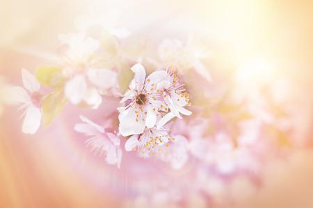 soft   focus: Cherry blossoming - soft focus