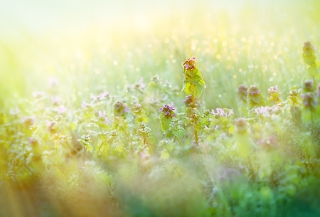 morning dew: Soft focus on Morning dew in meadow (meadow flowers and grass)