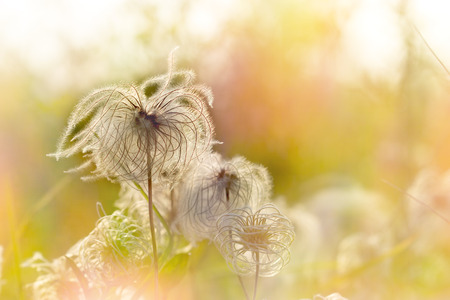 Beautiful softness flower - flyffi flower Stock Photo