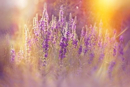 purple flowers: Purple flowers lit by rays of setting sun
