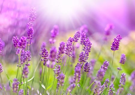 Mooie lavendel badend in het zonlicht - zonnestralen Stockfoto