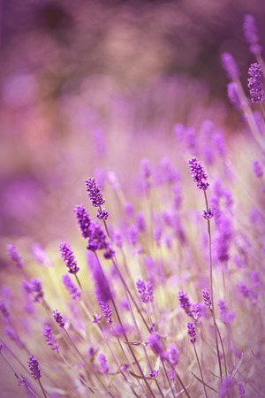 Lavender kwiaty Zdjęcie Seryjne
