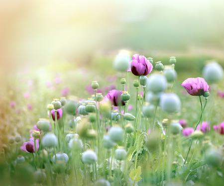 medicinal plant: Poppy flowers - medicinal plant Stock Photo