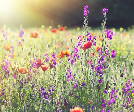 Flores de la amapola en prado Foto de archivo