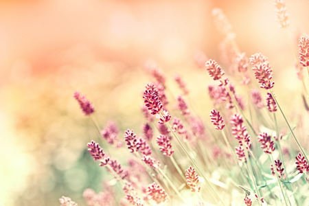 Beautiful lavender flowers made with color filters Reklamní fotografie