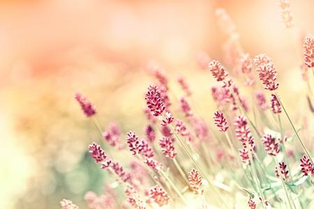 Prachtige lavendel bloemen gemaakt met kleurfilters Stockfoto