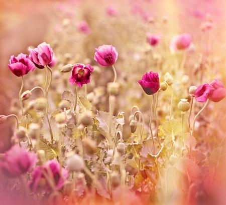 Belles fleurs de pavot Banque d'images