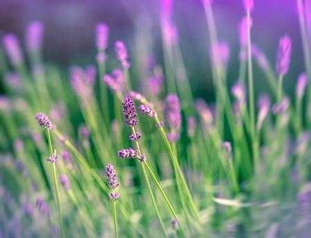 ラベンダー色の花 写真素材