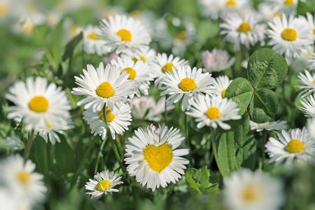 草原の花 - デイジーの花が日光を浴びてください。