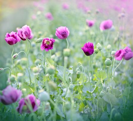 Paarse poppy bloemen Stockfoto
