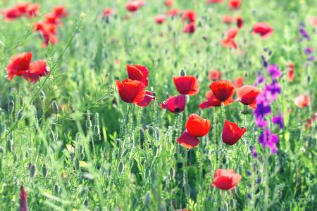 poppy flowers: Wild red poppy flowers