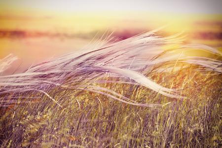 Silky grass - Fluffy grass - softness high grass on wind