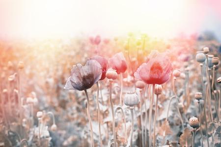 poppy flowers: Field of poppy flowers