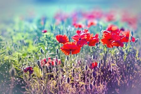 poppy flowers: Poppy flowers in meadow