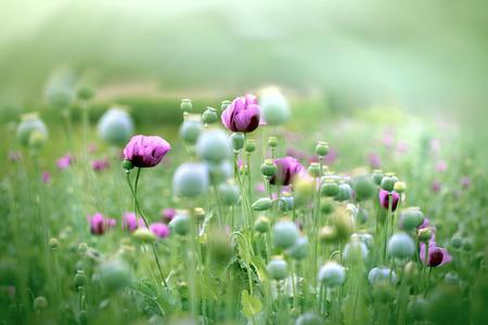poppy flowers: Purple poppy flowers