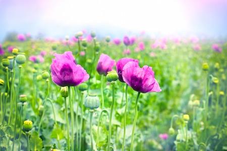 poppy flowers: Purple poppy flowers in meadow