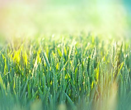 green wheat: Green wheat field lit by morning sunlight