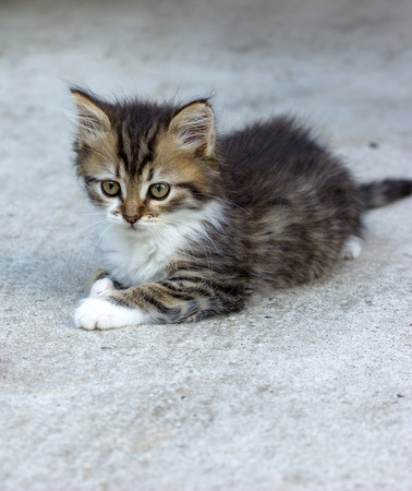 full blooded: Cute kitten - Maine Coon