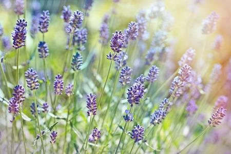 lavender flowers: Beautiful lavender flowers Stock Photo