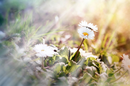 Daisy flowers in meadow lit by sun beams - sun rays Imagens