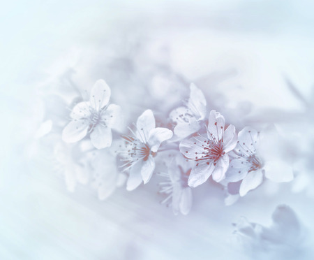 soft   focus: Soft focus on blooming branch