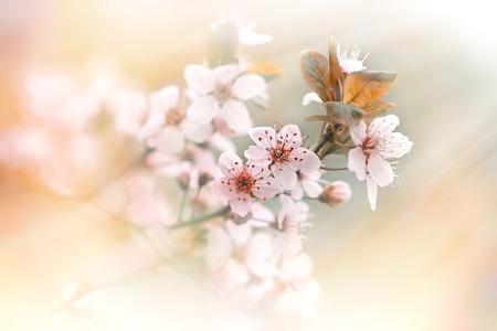 soft   focus: Soft focus on flowering - blooming tree