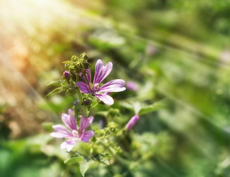Purple flowers in meadow lit by sun rays