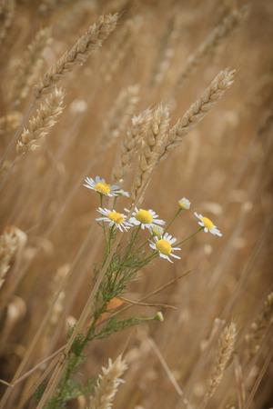 barley head: Daisy flower in wheat field