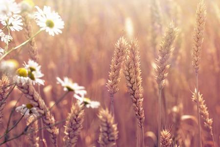 daisy stem: Beautiful wheat field and daisy flower