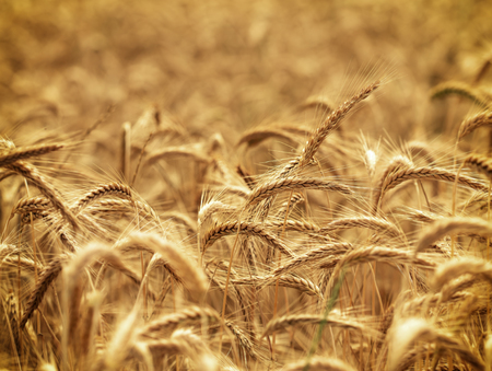 harvest time: Wheat field - harvest time
